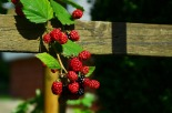 blackberries-936962_1920